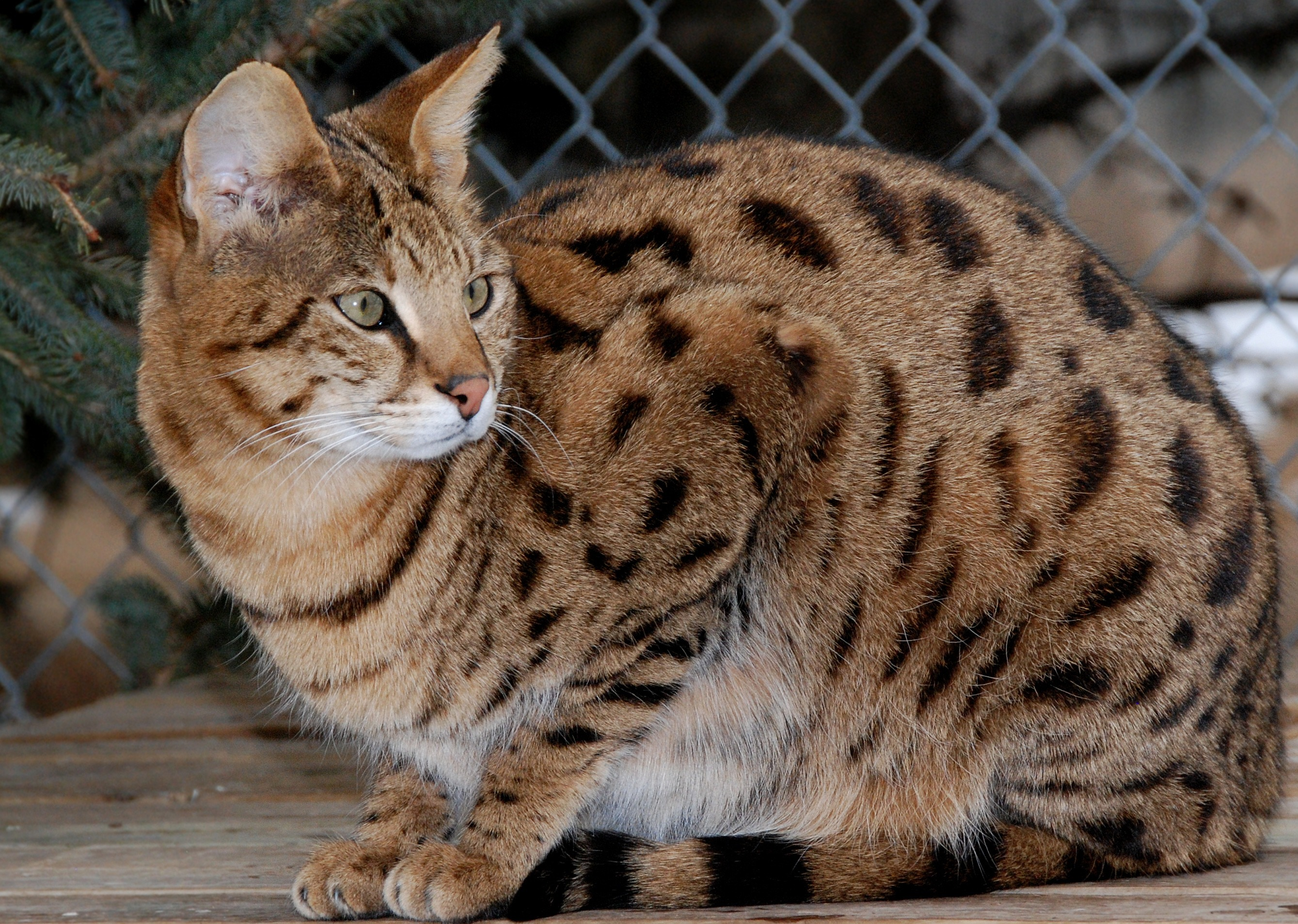 What S The Real Cost Of A Hybrid Cat Like A Bengal Or