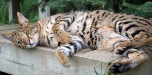 Savannah cat - not Sapphire