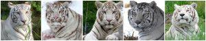 White tigers of TWS