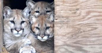 cougar kittens