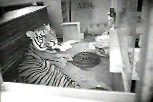 Ming, a 20-month-old tiger who until last week lived in a New York City apartment is seen in this New York Police Department video Saturday, Oct. 4, 2003. The 400-pound pet tiger is one of thousands of wild animals living in private homes across the country, part of a multibillion-dollar industry with little regulation. (AP Photo/NYPD)