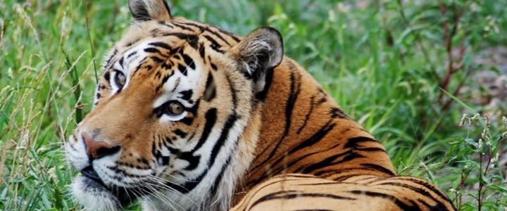 Titan the Bengal tiger