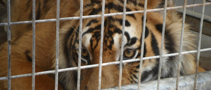 Tiger awaiting rescue in Texas