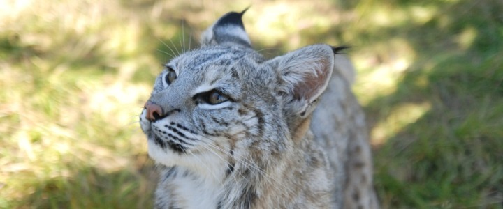 Baby Jengal Blue the bobcat was a former wild pet