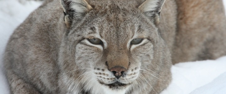 Leisha the Siberian/Eurasian lynx