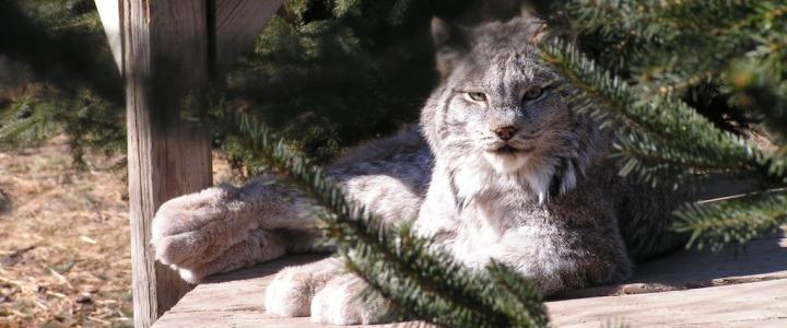 canada lynx ramsey an internet sensation for the wrong