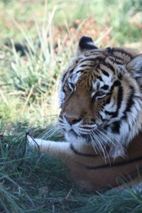 Sabrina_the_tiger_relaxing
