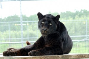 Shazam the black leopard on his perch