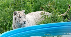 Sierra_pool_white_tiger