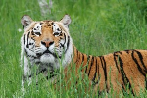 Titan_the_tiger_in_the_grass