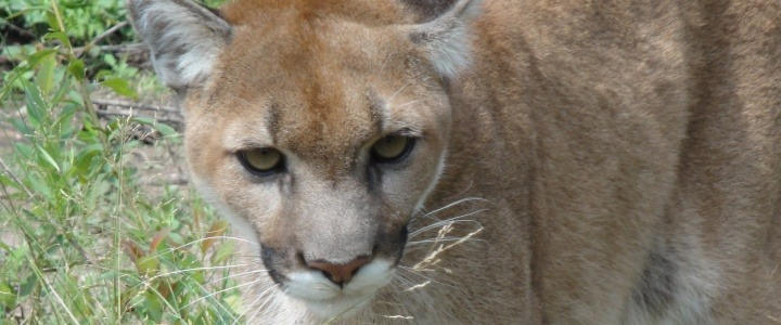 Vista the orphaned cougar