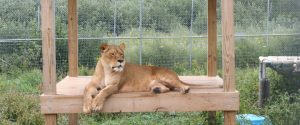 Asha the lioness from the Catskill Game Farm