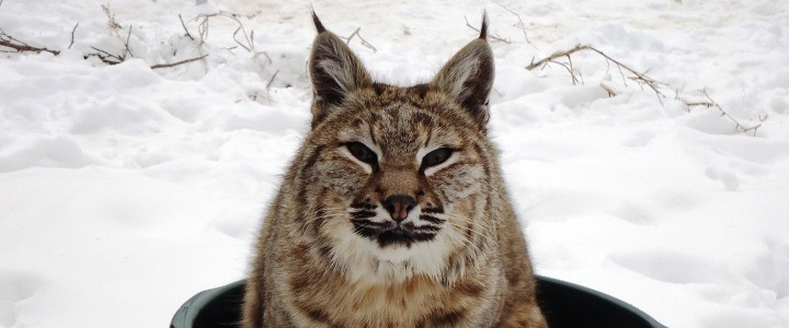 Buddy the bobcat was a former wild pet