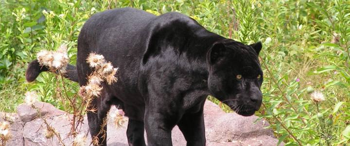 Diablo Guapo the black jaguar