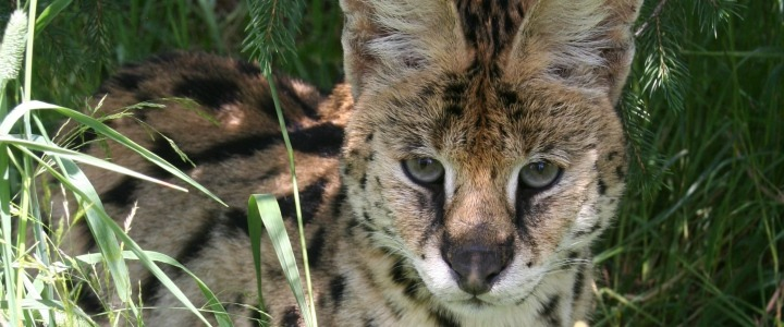 Dragon the African serval was a former wild pet