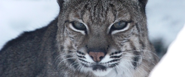 Harley the bobcat from WAO