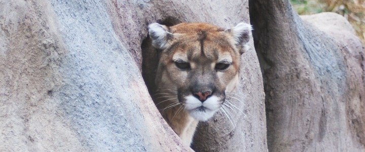 Hope the rescued cougar from Colorado