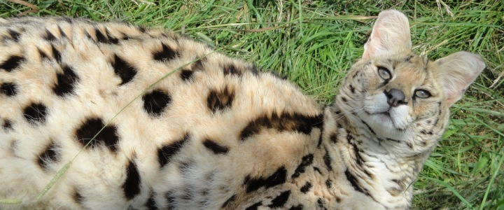 Jaharah the African serval was a former wild pet in Iowa