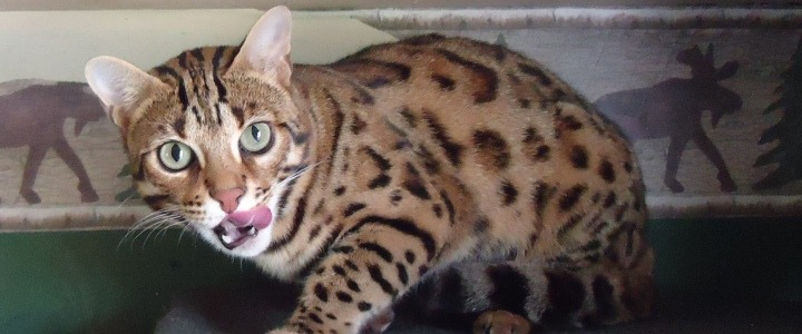 Jewel_F1_Bengal