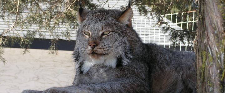 Kodiak the Canadian Lynx