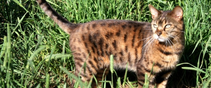 Max #1 a brown spotted Bengal cat