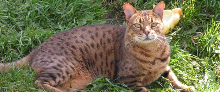 Max #2 a bronw spotted Bengal