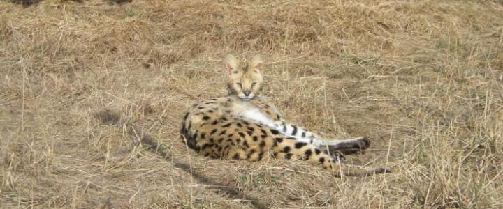 Mesa the African serval was prviately owned