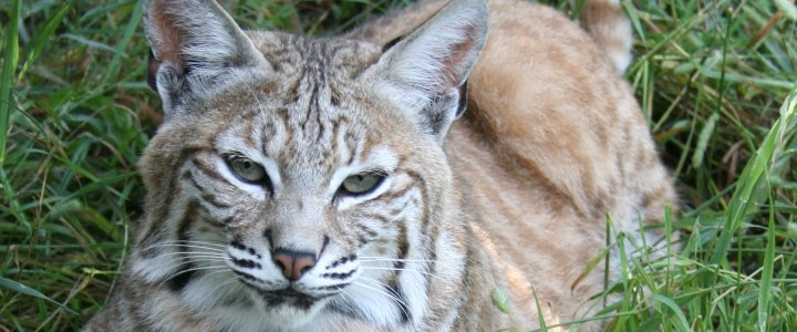 Morgan the bobcat found in Ritz Carlton