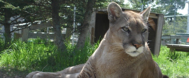 Nokomis the cougar was a former wild pet