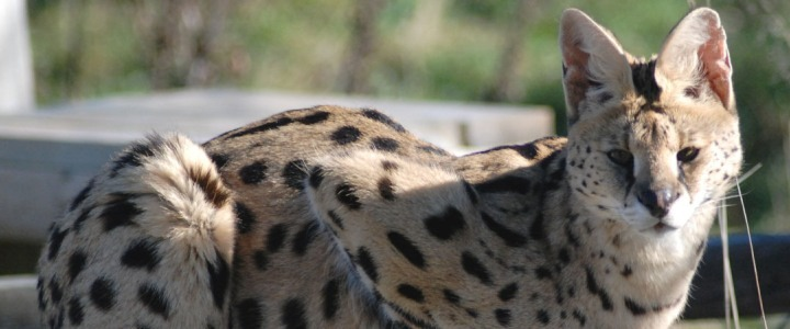 O'Malley the African serval was privately owned