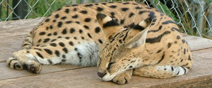 Princess Savannah was being used to breed Savannah cats
