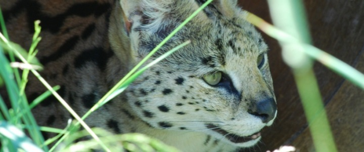 Phoenix the Africa serval was a former wild pet