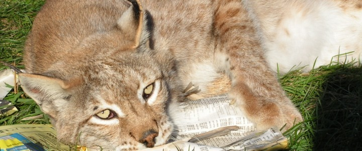 Sydney the Siberian lynx was abused by a previous owner