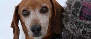 Gopher the weiner beagle