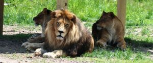 Aslan_and_the_lion_pride