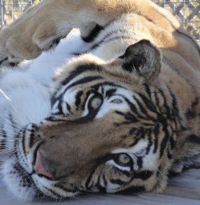 Zeus_Bengal_Tiger