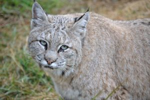 Hamlin_bobcat_Wildcat_Sanctuary