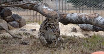 Clouded_Leopard_Wildcat_Sanctuary