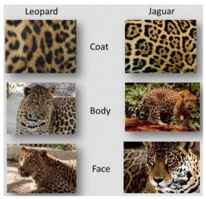 the top 5 differences between jaguars and leopards - the wildcat