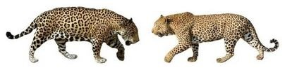The Top 5 Differences Between Jaguars And Leopards The