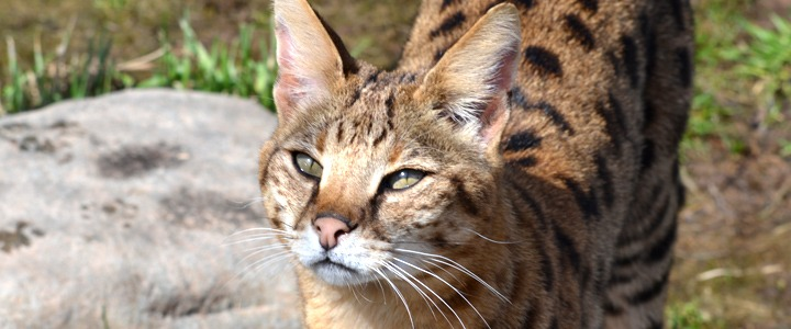 What S The Cost Of A Hybrid Wild Cat Like Bengal Or Savannah