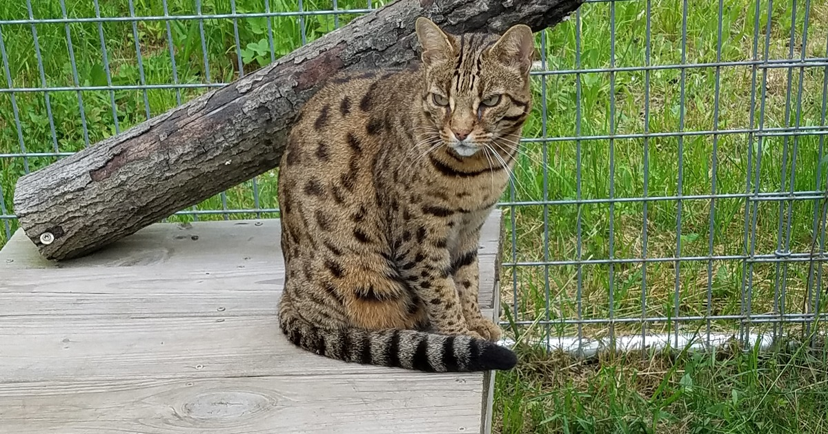 So Is It Possible Do You Think My Cat Is A Bengal Cat