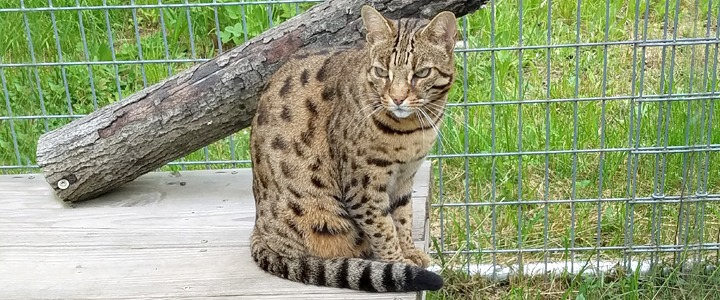 So, is it possible, do you think MY cat is a Bengal cat?