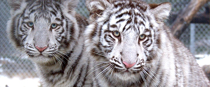 white tigers - 8 fast facts you may never have heard of before!