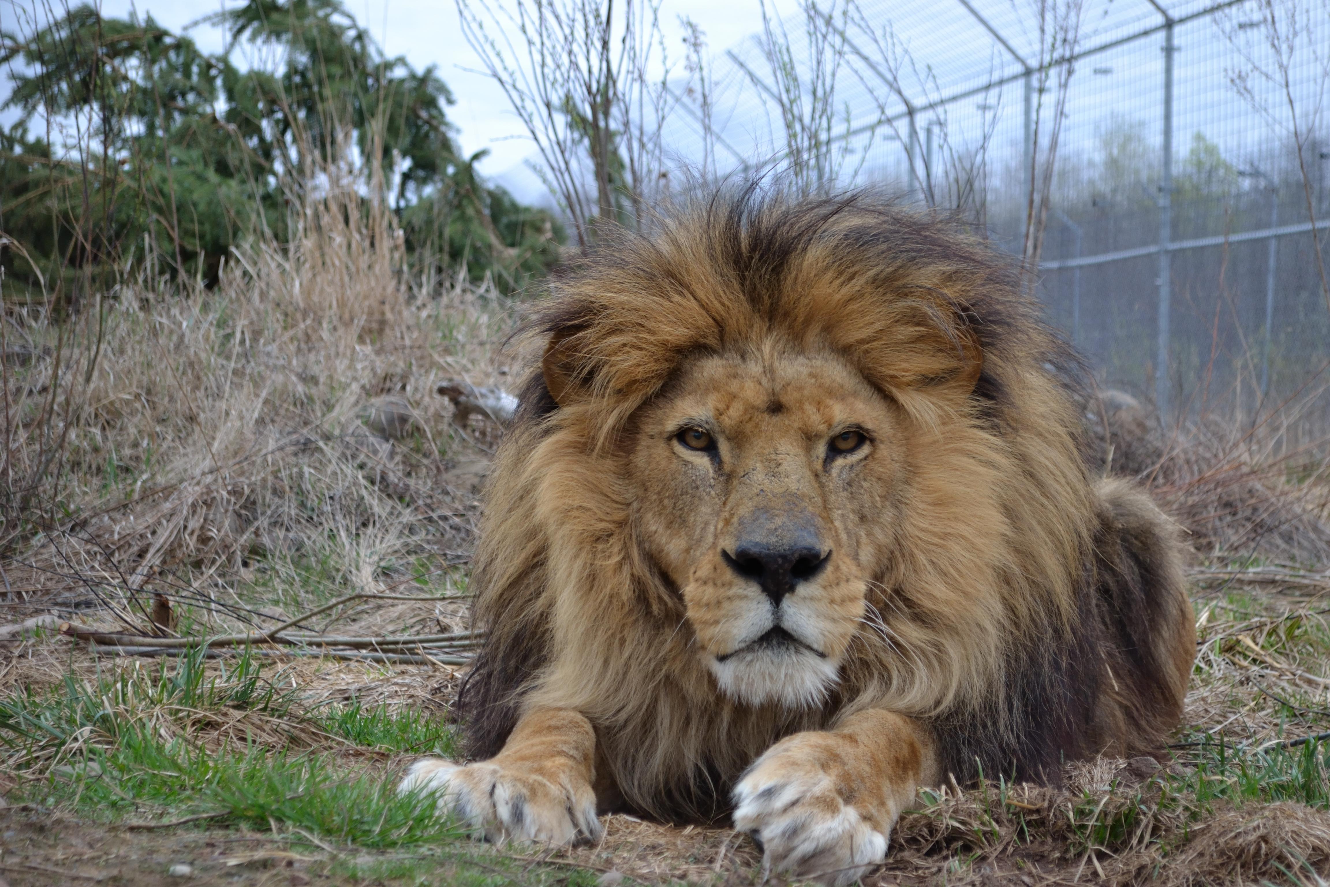 Aslan – In Memory - The Wildcat Sanctuary