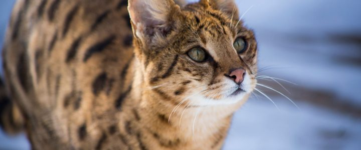 What is a hybrid wild cat and do they make good pets?